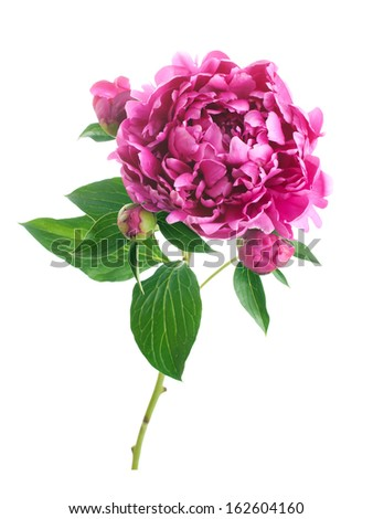 Peony flower isolated on a white background. - stock photo