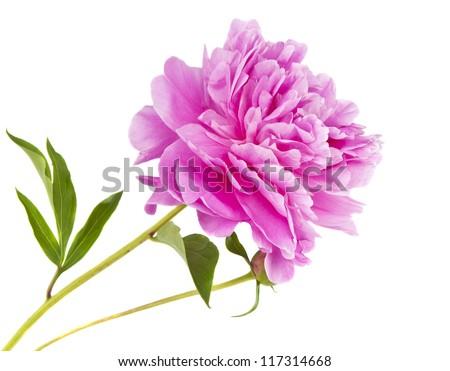 peony flower isolated on white background - stock photo