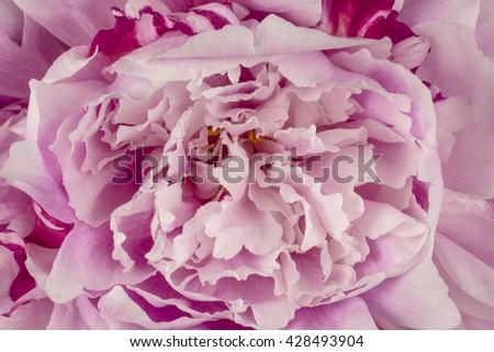 Peony Flower Petals Detail  - stock photo