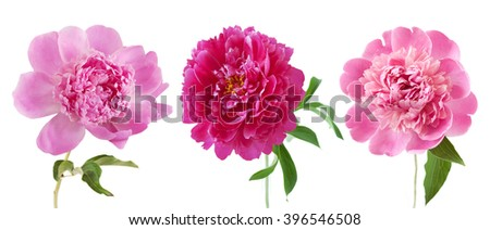 Peony flowers set isolated on white background