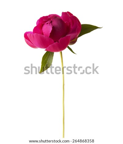 Peony isolated on white background. Focus on center of flower - stock photo