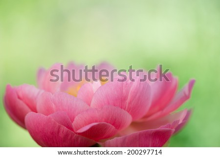 Peony macro, delicate floral background with copy space - stock photo