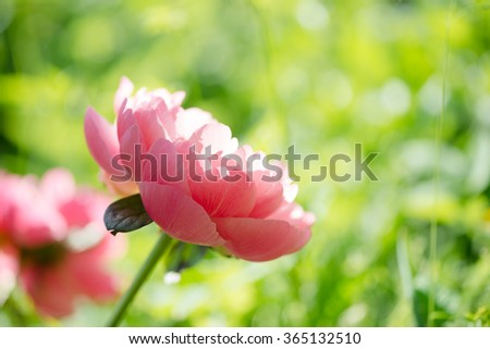 Peony macro, delicate floral background with copy space