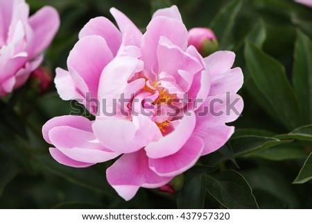 Peony. Nature background. Summer flower. - stock photo