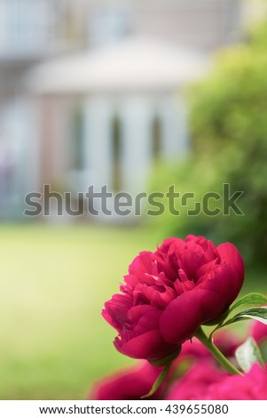 Peony rose growing in a garden