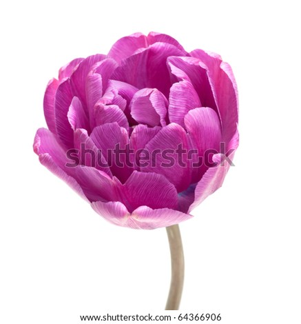 Peony Tulip isolated on white (new photos of tulips see in my portfolio)