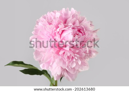 peony varieties Albert Crousse isolated on gray background