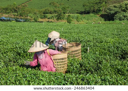 People carrying a dosser full loaded of tea leaves on his shoulder in the field - stock photo