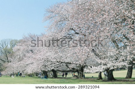People enjoying picnic with Japanese cherry blossoms in full bloom in park, Tokyo, Japan - stock photo