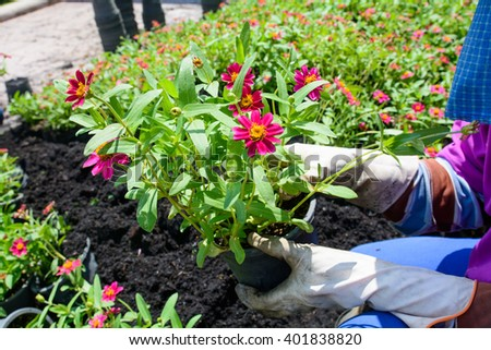 people, gardening, flower planting and profession concept - close up of woman hands planting flower a gardener - stock photo