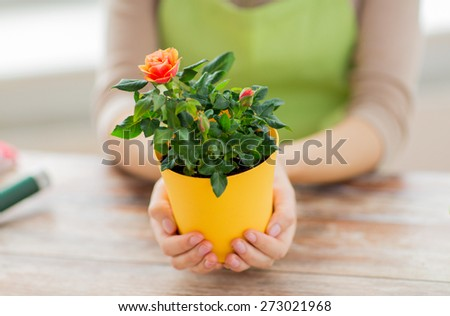 people, gardening, flowers and profession concept - close up of woman hands holding roses bush in flower pot at home - stock photo