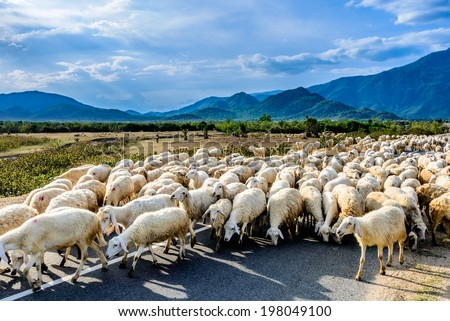People graze herd of sheep, the man guide them walk on countryside path in sunny day, the way along the road back home make peaceful scene of Viet Nam (Phan Rang, Ninh Thuan Province, Vietnam) - stock photo