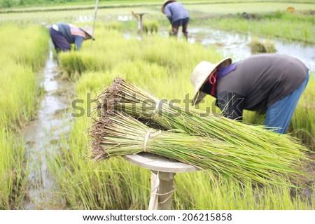 People planting rice - stock photo
