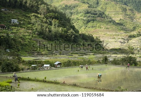 people planting rice in the terraced rice paddies of banaue province in northern luzon in the philippines - stock photo