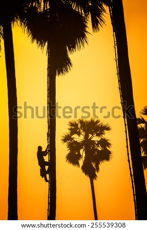 People with career climbing palm sugar to keep fresh in sunset