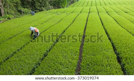 People working in green tea plantation in Japan - stock photo