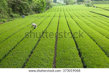 People working in Japanese green tea plantation, Shizuoka - stock photo