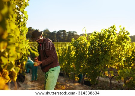 People working in vineyard. Workers harvesting grapes from rows of vines in grape farm. - stock photo
