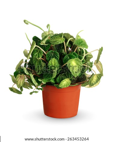 Peperomia caperata a potted plant isolated over white - stock photo
