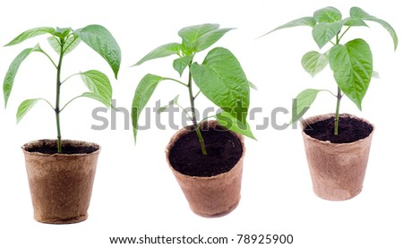 pepper fresh seedling stands in peat pots on a white background - stock photo