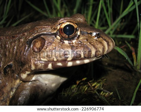Pepper frog - stock photo
