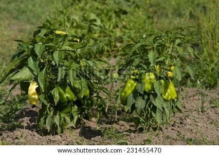 Pepper growing in the garden - stock photo