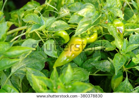 Pepper plant with fruits hanging. - stock photo