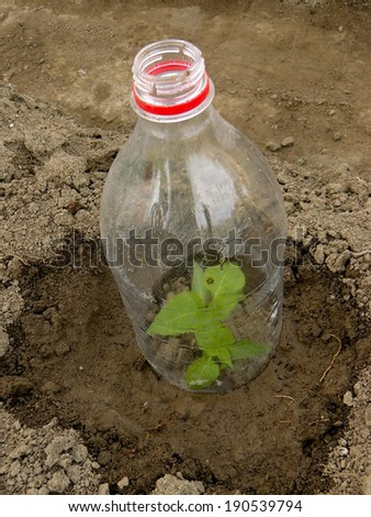 pepper seedling growing in plastic bottle as small hothouse - stock photo