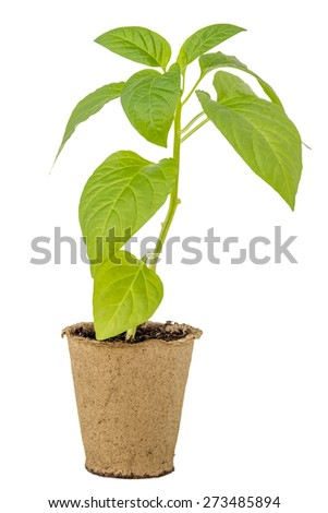 Pepper seedlings in a peat pot isolated white background - stock photo