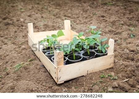 pepper seedlings ready for plant - stock photo
