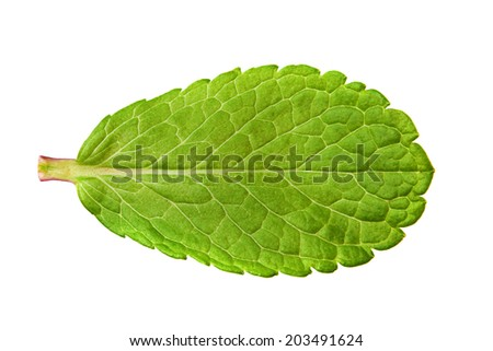 Peppermint herb leaf closeup isolated on white