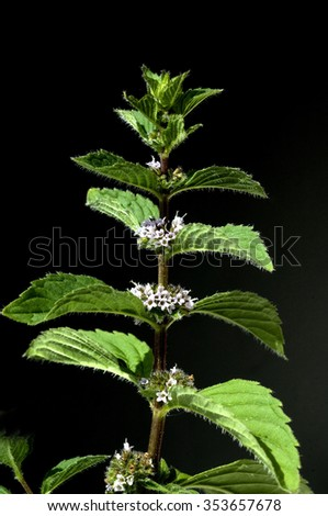 Peppermint; Mentha; spicata - stock photo