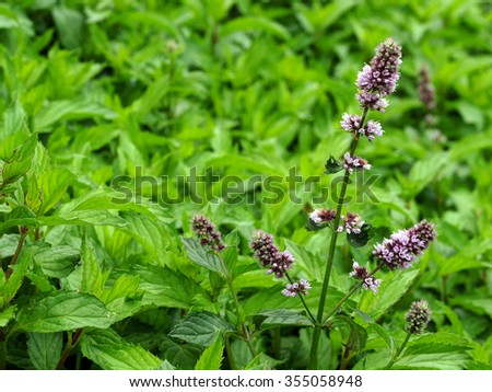 Peppermint-plant - stock photo