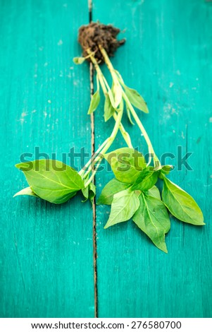 Peppers plant on wooden table - stock photo