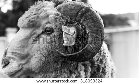 PERAK, MALAYSIA - 15TH OCTOBER 2013; Local goat at meat farm in Perak, Malaysia - stock photo
