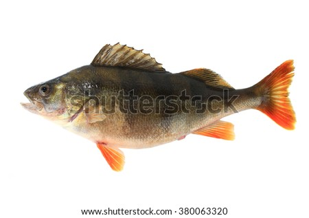 perch a female with caviar on a white background