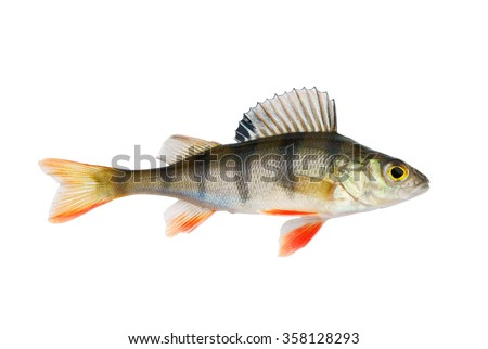 Perch stock images royalty free images vectors for White perch fish