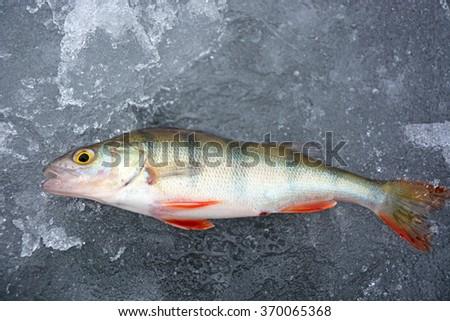 Perch fish on the ice- winter fishing, hobby - stock photo