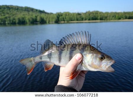 Perch fishing trophy - stock photo