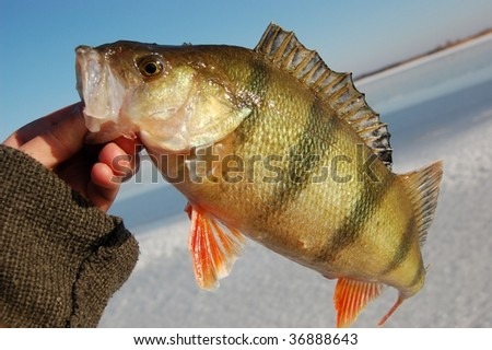 Perch ice winter fishing stock photo for Ice fishing for perch