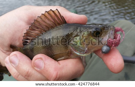 Perch with lure in his mouth - stock photo