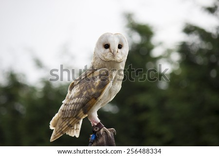 Perched Barn Owl - stock photo