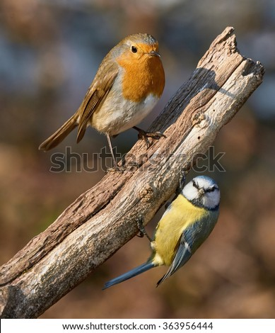 perched on the same branch a cute Robin and a vibrant blue tit - stock photo