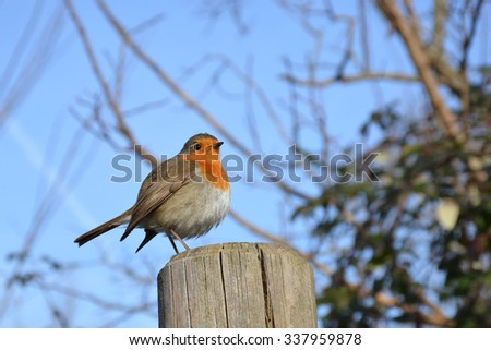 perched robin - stock photo