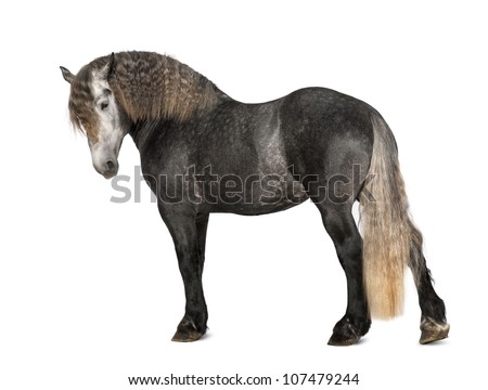 Percheron, 5 years old, a breed of draft horse, portrait standing against white background - stock photo