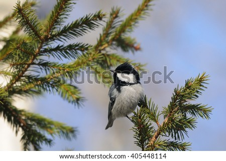 Perching Coal tit (Periparus ater, Parus ater) in spring forest. National park Plesheevo Lake, Yaroslavl region, Russia - stock photo