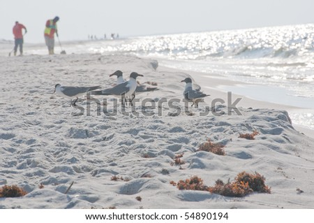 PERDIDO KEY, FL - JUNE 9: A flock of seagulls stand at the shore of the Gulf of Mexico as BP workers (background) clean the beaches on June 9, 2010 as oil threatens the beaches near Pensacola, FL. - stock photo