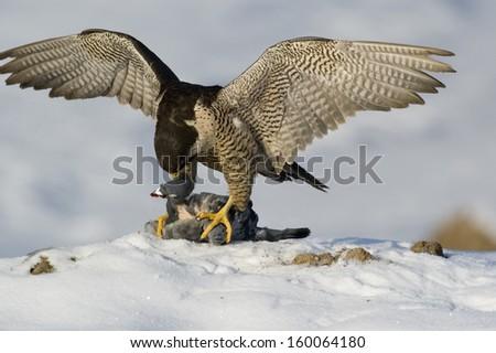 peregrine [Falco peregrinus], Ostalbkreis, Baden-Wuerttemberg, Germany - stock photo