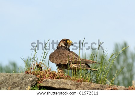 Peregrine Falcon alert looking for prey