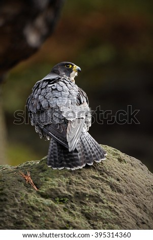 Peregrine Falcon, bird of prey  sitting on the stone in the rock, detail portrait in the nature habitat, Germany - stock photo